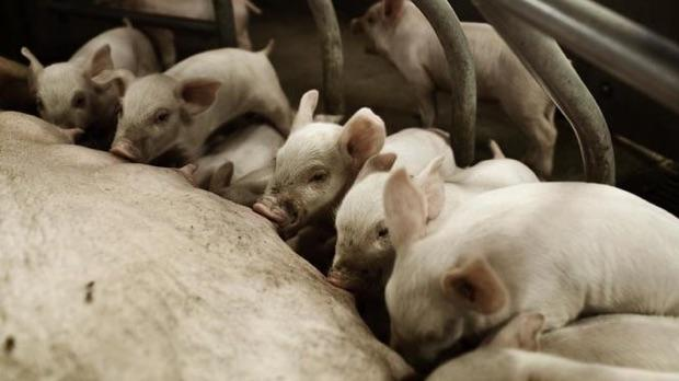 De sidste 30 år er der ifølge Danmarks Statistik kommet markant færre men større svinebedrifter i Danmark. Og det er de store landbrug, der især er følsomme over for udsving på verdensmarkedet.