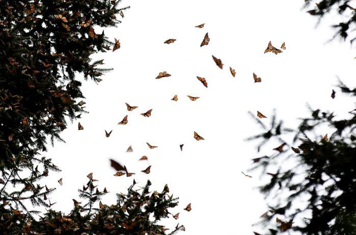 Når varmen vender tilbage, vågner monarkerne og stiger til himmels i imponerende flokke. Fra Mexico begynder den lange sommerejse flere tusind kilometer nordpå. Den tager flere generationer, blot for at blive afsluttet med en enkelt generations udmattende flyvetur tilbage til bjergene og fyrreskovene i Mexico, når sommeren går på hæld.