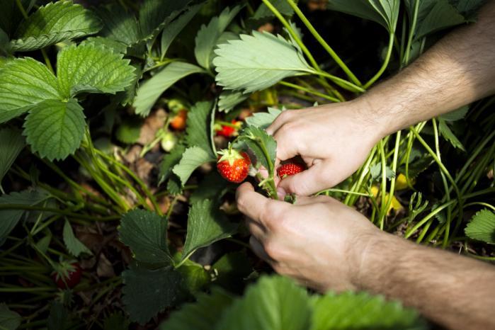 Sæsonarbejdere, der f.eks. plukker jordbær om sommeren, bør ifølge LO og FTF ikke have samme adgang til velfærdsydelser som andre udenlandske lønmodtagere.