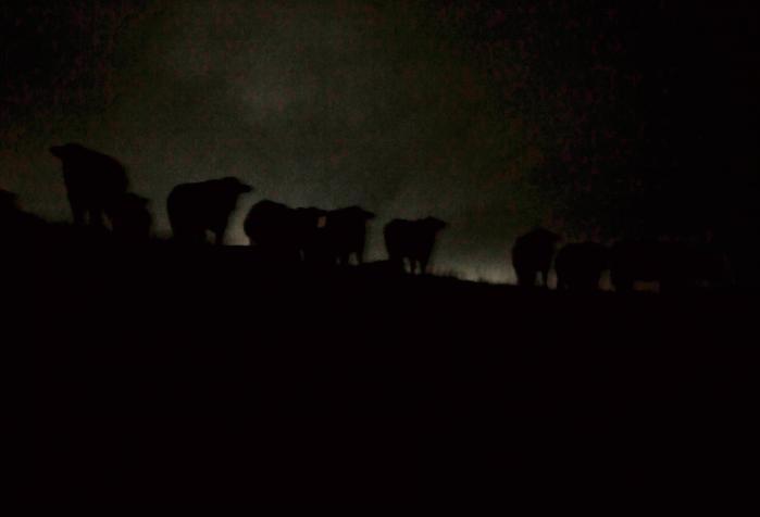 Carsten Ingemanns billeder af mørke fanger steder, dyr og objekter, der til dagligdags ikke gør meget væsen af sig, men fremstår helt anderledes fremmedartet om natten, her køer. Foto fra serien 'Mørke'.