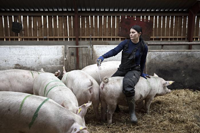 Rumænske Ramona Leonte arbejder på svinebruget Vestergaard uden for landsbyen Tim, der ligger 15 kilometer nord for Ringkøbing. Hun er ansvarlig for at inseminere søerne.