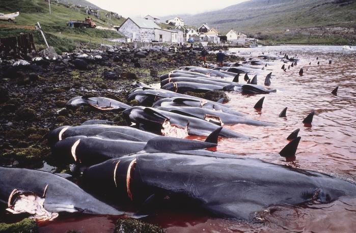 Et bredt politisk flertal i Folketinget går imod EU's ønske om bedre beskyttelse af hvaler. Eksempelvis mener Enhedslistens grønlandsordfører, Christian Juhl, at der skal tages hensyn til de mennesker, der lever af hvaler.'Der er mennesker, som lever der. De skal have noget at leve af, så det primære princip må være, at al aktivitet først og fremmest reguleres efter, at de kan leve der,' siger han.