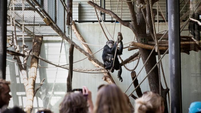 Hvem kigger på hvem ved chimpanseburet i Københavns Zoo?