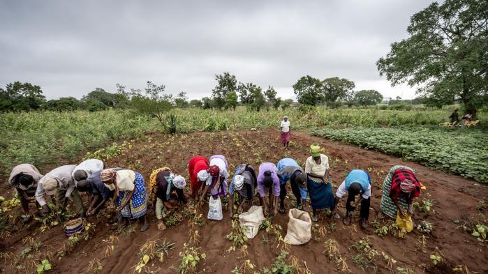 Ny teknologi og moderne forretningsmetoder i landbruget er ved at skabe en revolution, så afrikanske landmænd kan få samme store effekt, som asiaterne fik i 1950'erne og 1960'erne med 'den grønne revolution'. På billedet arbejder kenyanske kvinder i marken.