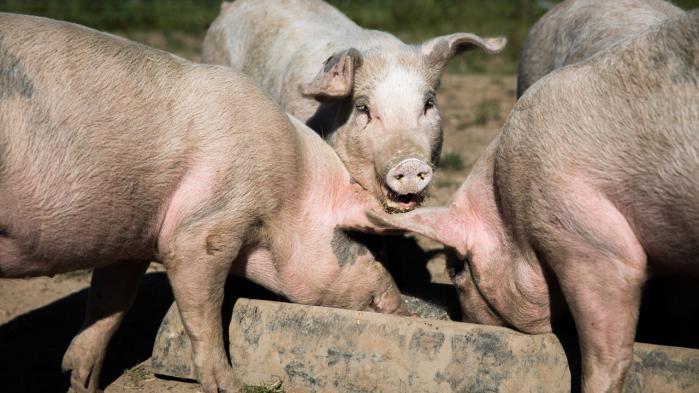 Danmark er verdensmester i at forædle svin. I dag omsætter DanAvl-svin for to mia. kr. om året, hvis man regner salget i Danmark med.