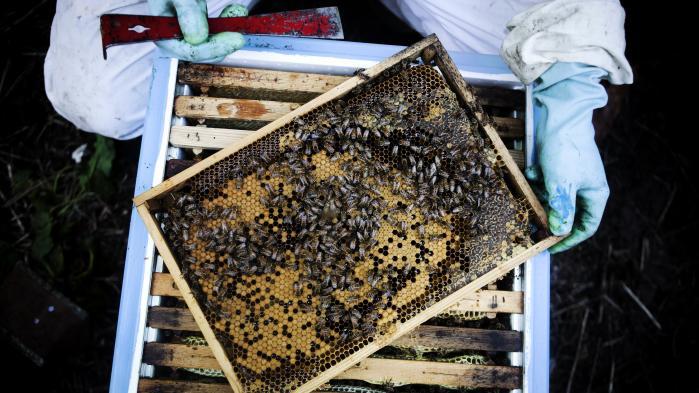 »Jeg har et ønske til regeringen og landbruget: Accepter mere ukrudt i markerne. En kornmark uden blomster er en grøn ørken for bierne. Hvis der bare var en stribe med kornblomster, valmuer, tidsler ovre i hjørnet, ville mine bier besøge dem«, sigerKlaus Hviid, der har været biavler i 11 år.